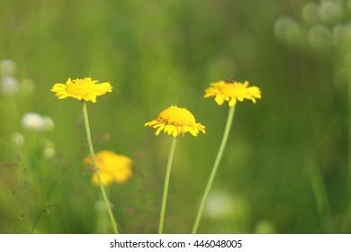 Doronicum yellow flowers