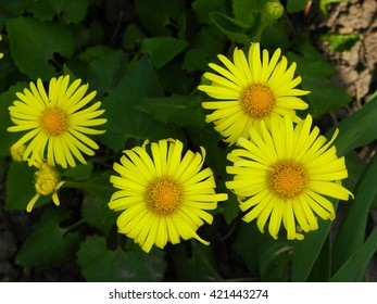 Doronicum. Yellow flowers among green leaves. Close-up