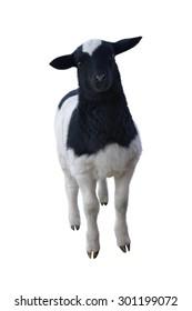 Dorper Cross Lamb Isolated