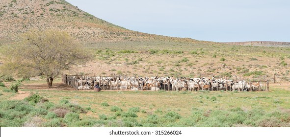 Dorper sheep in a kraal on a farm between Loeriesfontein and Nieuwoudtville