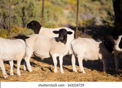 Dorper Sheep Rams on a dorper sheep stud farm in the Tankwa karoo in South Africa