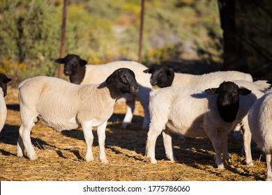 Dorper Sheep Rams on a dorper sheep stud farm in the Tankwa karoo in South Africa