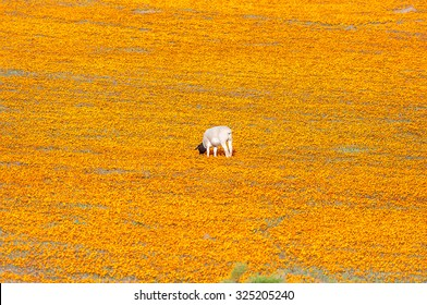 A Dorper sheep in a sea of Orange daisies at Arkoep in the Northern Cape Namaqualand region