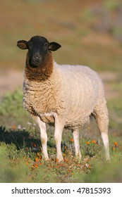 Dorper sheep in south africa