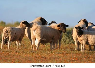 Dorper sheep in south africa