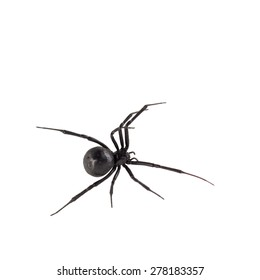 Dorsal bird's eye view of female black widow spider, isolated on white.