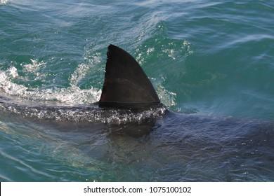 dorsal fin of great white shark, Carcharodon carcharias, False Bay, South Africa, Atlantic Ocean
