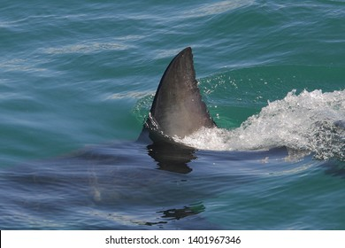 dorsal fin of great white shark, Carcharodon carcharias, False Bay, South Africa, Atlantic Ocean