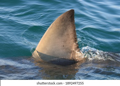 dorsal fin of great white shark, Carcharodon carcharias, off Mossel Bay, South Africa