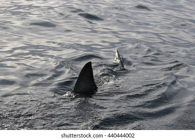 dorsal fin of great white shark, Carcharodon carcharias, swimming at surface, False Bay, South Africa, Atlantic Ocean