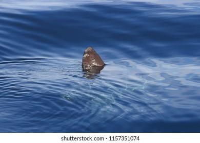 dorsal fin of ocean sunfish, Mola mola, False Bay, South Africa, Atlantic Ocean