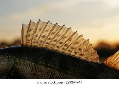 Dorsal fin of a walleye (pike-perch), sunset light