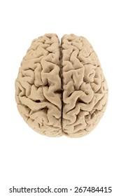 Dorsal of Human Brain