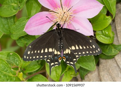Dorsal view of a beautiful Black Swallowtail butterfly on a Clematis flower