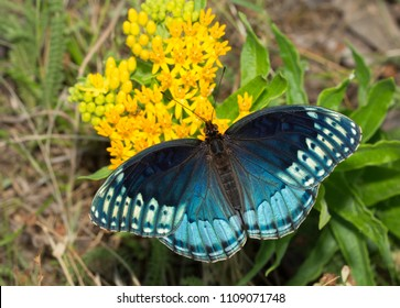 Dorsal view of a beautiful blue female Diana Fritillary, Speyeria diana, feeding on yellow butterflyweed. This species is very rare throughout its range.