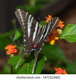 Dorsal view of a beautiful Zebra Swallowtail butterfly feeding on a Lantana flower