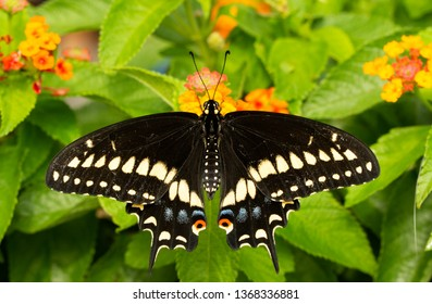 Dorsal view of a Eastern Black Swallowtail feeding on a Lantana flower