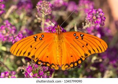 Dorsal view of a Gulf Fritillary butterfly feeding on deep purple Alyssum flowers
