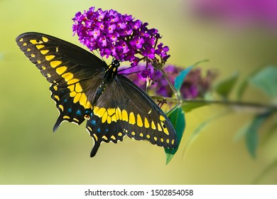 A dorsal view of a male black swallowtail butterfly feeding on blossoms of butterfly bush plant.