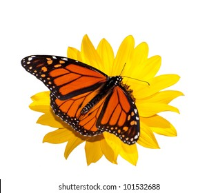 Dorsal view of a male Monarch butterfly feeding on a wild sunflower; isolated on white