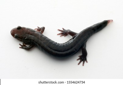 Dorsal view of a Northern Dusky Salamander (Desmognathus fuscus) with a regenerating tail.  On white background.