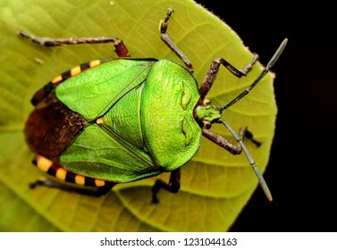 Dorsal view Pycanum rubens green shield bug