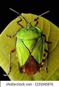 Dorsal view Pycanum rubens green shield bug on leaf