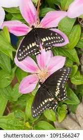 Dorsal view of two freshly eclosed male Eastern Black Swallowtail butterflies resting on pink Clematis blooms
