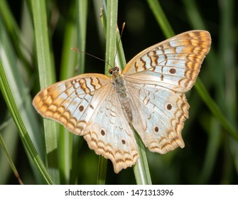 Dorsal view of a White Peacock butterfly resting on a blade of grass