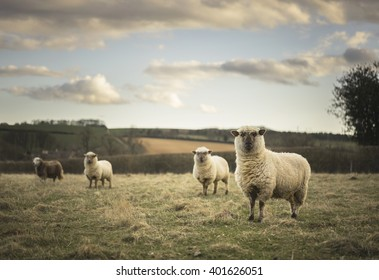 Dorset and Herdwick Sheep in Cotswold Landscape