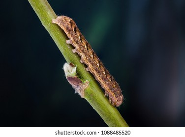 Dotted Clay (Xestia baja) moth caterpillar. Sitting on a twig.