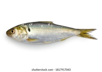 dotted gizzard shad isolated on white background