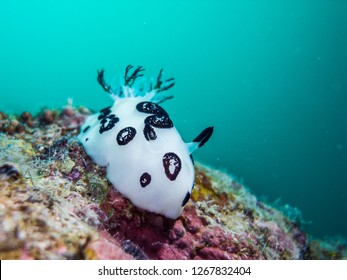 dotted nudibranch (Jorunna funebris) crawling on a rock reef.  Yap island, Federated States of Micronesia