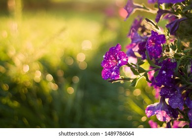 Dotted Purple Petunia Flowers (Night Sky) at Sunset Background/Wallpaper