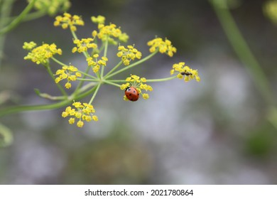 Dotted red ladybug on a flower. High quality photo. Selective focus