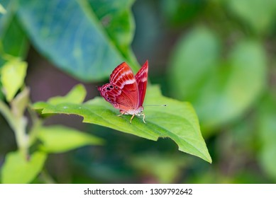 Double Banded Judy, also known as Abisara bifasciata, is a butterfly in the  Riodinidae family in the Abisara Genus.