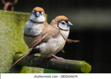 Double Barred Finch Perched on a Feeder