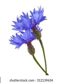 Double blue cornflower isolated on white background as package design element