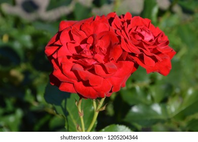 Double bud of a bright red rose in the center against the backdrop of shiny dark green foliage