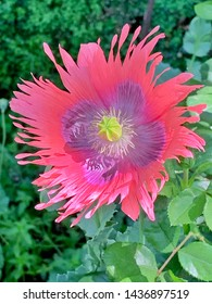 Double colored pink poppy flower