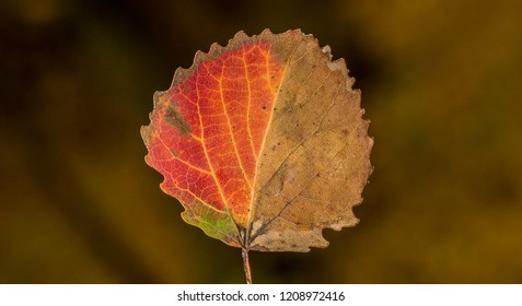 Double colored - red and brown, dried autumn leaf falled from tree, macro, close up.