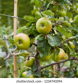 Double Cordo apple tree with ripe fruit , ready for harvest -  organic permaculture farm.