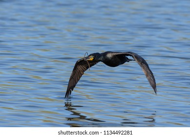 A Double Crested Cormorant Gathers Sticks For The Nest.