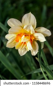 Double Daffodil (Narcissus x hybridus) in garden, Moscow region, Russia