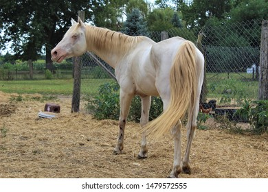 Double dilute cremello perlino horse whinnying