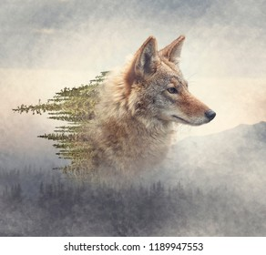 Double exposure of coyote portrait and pine forest on the mountain