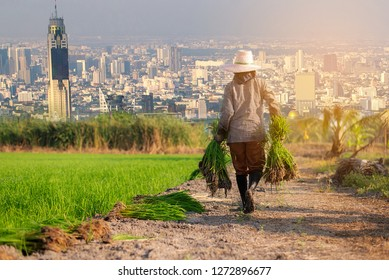 Double exposure ,Farmer walk holding sapling of rice in field ,A farmer walking in the rice field and In rural of Thailand,Agriculture in the modern full of big building in the city