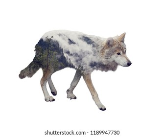 Double exposure of wolf and pine forest on white background