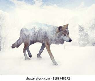 Double exposure of wolf in the winter woods