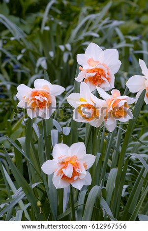 Double Flowers Whitepink Narcissus Daffodil Replete Stock Photo